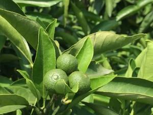 ミカンの木に小さな実がいっぱい!!